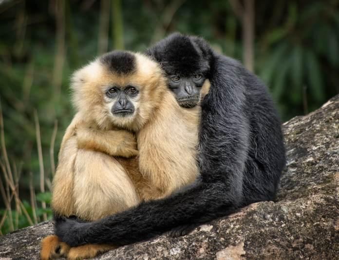 Deux singes se tenant dans les bras