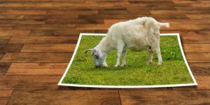 Chèvre qui broute dans un cadre