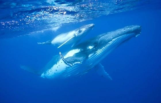 whale and calf