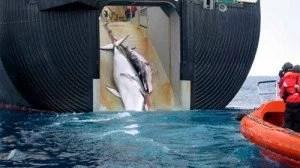 Uma baleia Mink e seu filhote foram capturados e mortos pelo barco japonês