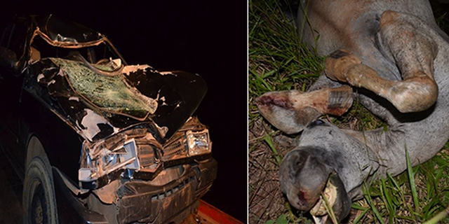 Motorista atropela e mata animal que andava dentro da pista