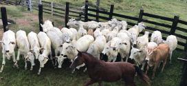 Polícia Civil desarticula bando que furtava gado em Goiás e recupera mais de 100 rezes
