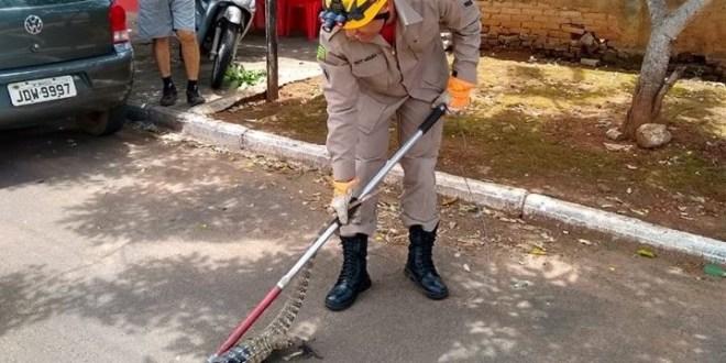 Corpo de Bombeiros é acionado várias vezes para resgate de animais. Desta vez um lagarto Teiú…