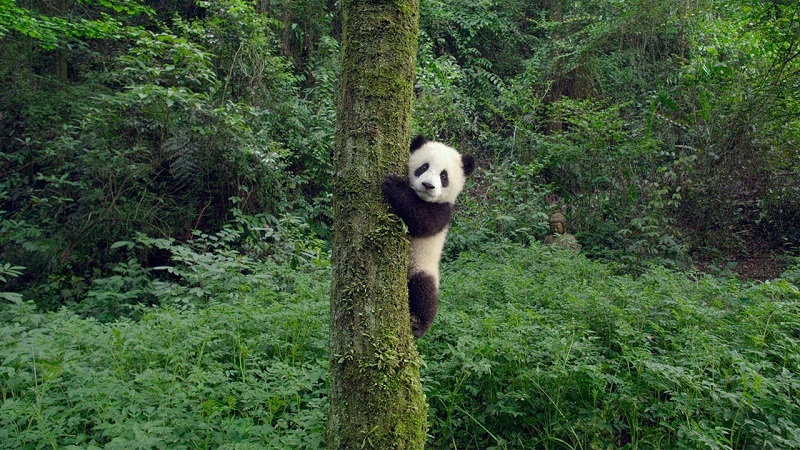 Trailer & Poster for WB's PANDAS – Narrated by Kristen Bell