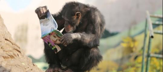 scimpanze limbaniweb miami