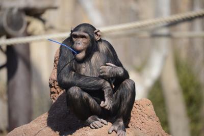 Scimpanzè, rischia l'estinzione anche la loro capacità di tramandare