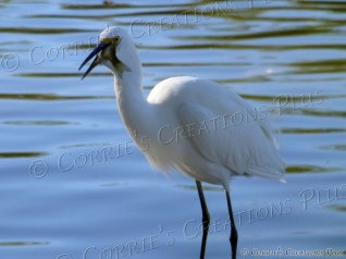 White heron having lunch in local lake in Tucson; notice the small fish sideways in its beak.