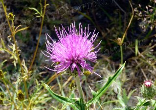 Beautiful thistle near Tucson