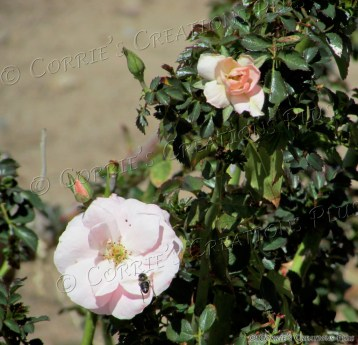 A bee pollinates on a soft-pink rose.
