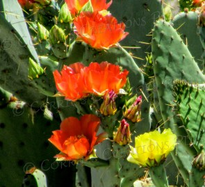 Orange and yellow blossoms team up on a prickly pear cactus.