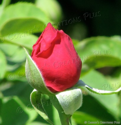A red rosebud enters the flora world.