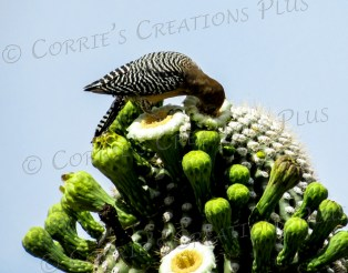 A Gila woodpecker dines on a Saguaro cactus blossom in Tucson.