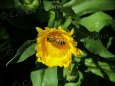 A honeybee pollinates a yellow flower in Tucson.