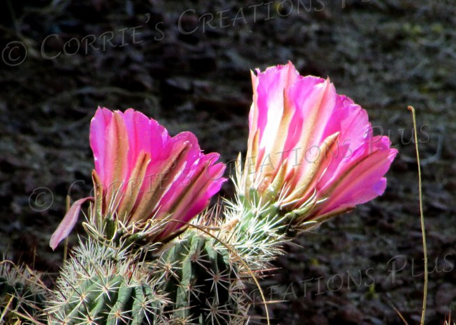 Pink cacti blossoms grace the landscape at the Tanque Verde Guest Ranch in Tucson.