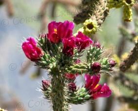Staghorn cactus in bloom