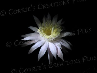 A yellow-and-white night-blooming cereus adorns the night at Tohono-Chul Park in Tucson. This will make a great card for Easter.