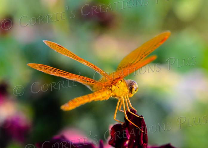 """The dragonflies were very cooperative on this photo shoot; this was taken during the """"golden hour"""" at the Rose Garden in Tucson's Reid Park."""