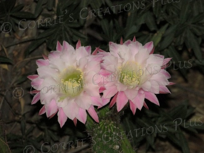 Two pink night-blooming cereus cacti light up the evening in midtown Tucson.