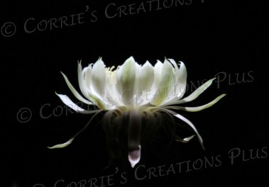 A white night-blooming cereus cactus blooms overnight at Tucson's Tohono-Chul Park.