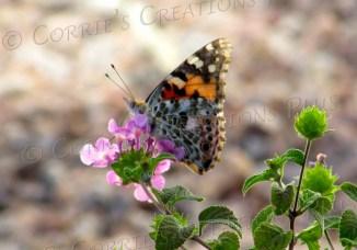 Monarch on verbena