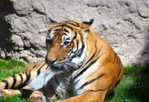 Tigers are powerful, beautiful cats.
