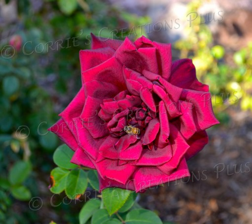 A honeybee pollinates on a beautiful, deep red rose.