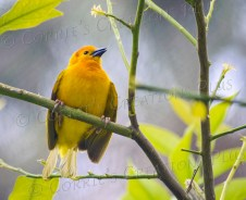 This Taveta golden weaver is native to Africa. They weave a basket for their nests and enter the nest from the bottom.