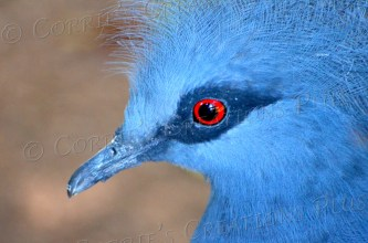 A Victorian-crowned blue pigeon
