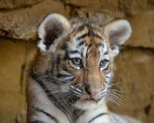 The cutest! Amur tiger cub