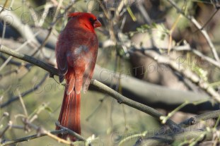 This cardinal casts a sideways look.