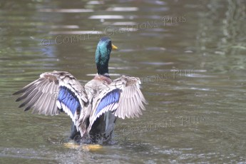 A drake mallard at Reid Park in Tucson, Arizona