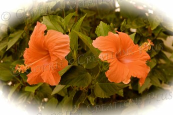 Two orange hibiscus; taken in antique setting
