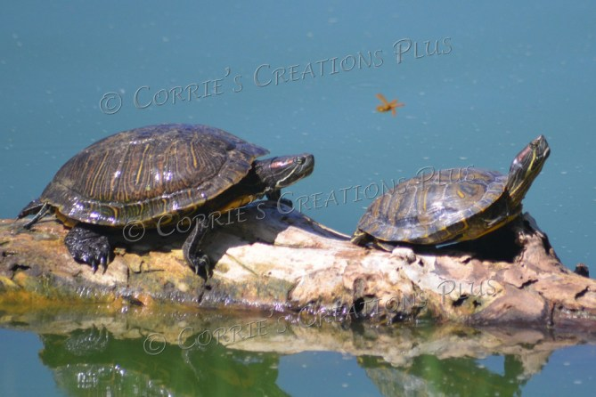 Two red-eared slider turtles basking in the Tucson sun
