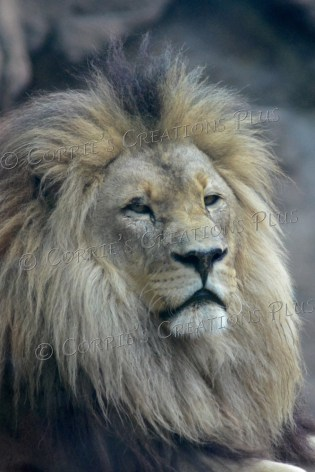 The male African lion