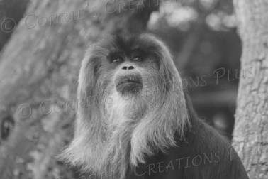Macaque--this time in black and white