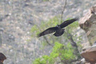 A lone raven soars over Seven Falls in Sabino Canyon, southeastern Arizona