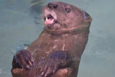An otter enjoying a swim.