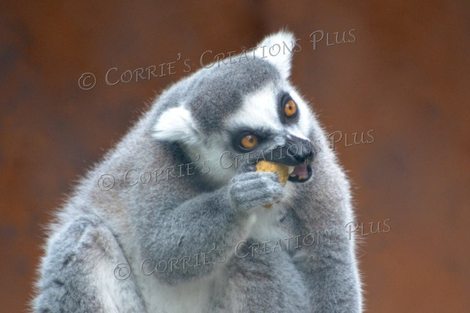 A ring-tailed lemur eating breakfast