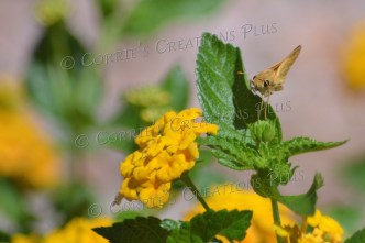 A moth on some yellow verbena