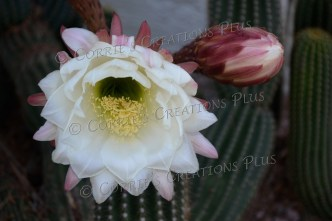 Argentine cactus blossom in Tucson