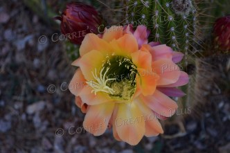 This cactus blossom has three colors: orange, yellow, and pink.