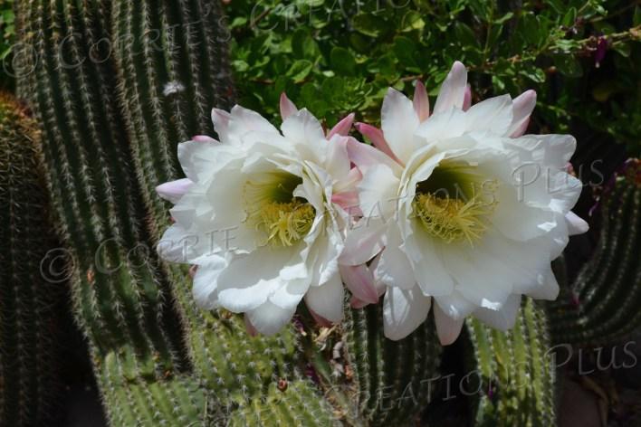 Argentine cactus blossoms