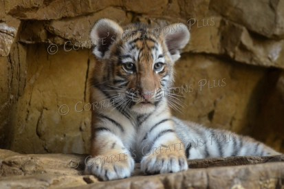 Amur tiger cub; notice his already large paws.