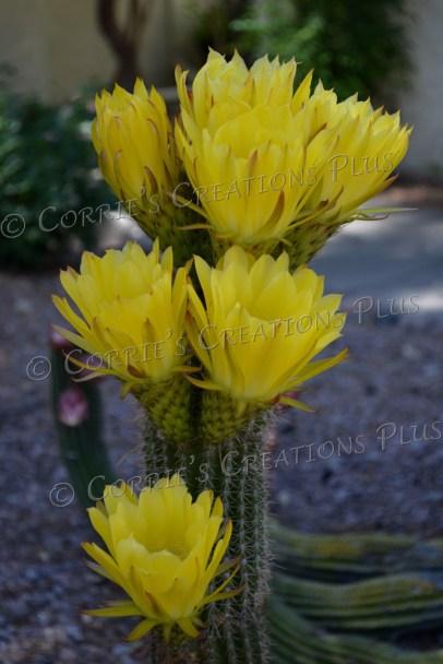 Springtime in Tucson displays beautiful cactus blossoms.