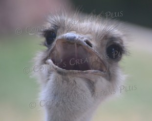 Ostrich. Notice the detail in the inside of his mouth.