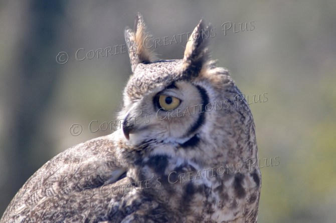 An upclose shot of the great horned owl