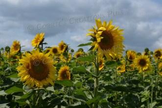 Field of sunflowers. Photo taken near Adams, Nebraska