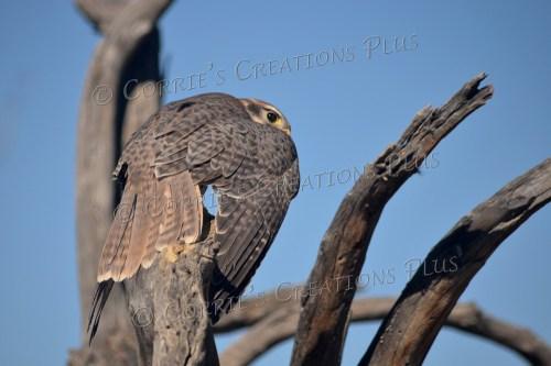 Prairie falcon; photo taken just as he was landing