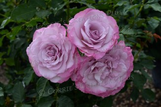 A cluster of pink roses