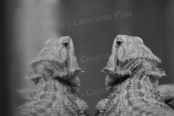 A bearded dragon admires his reflection in the glass.